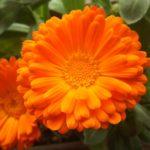心にも身体にもつかう癒しの花